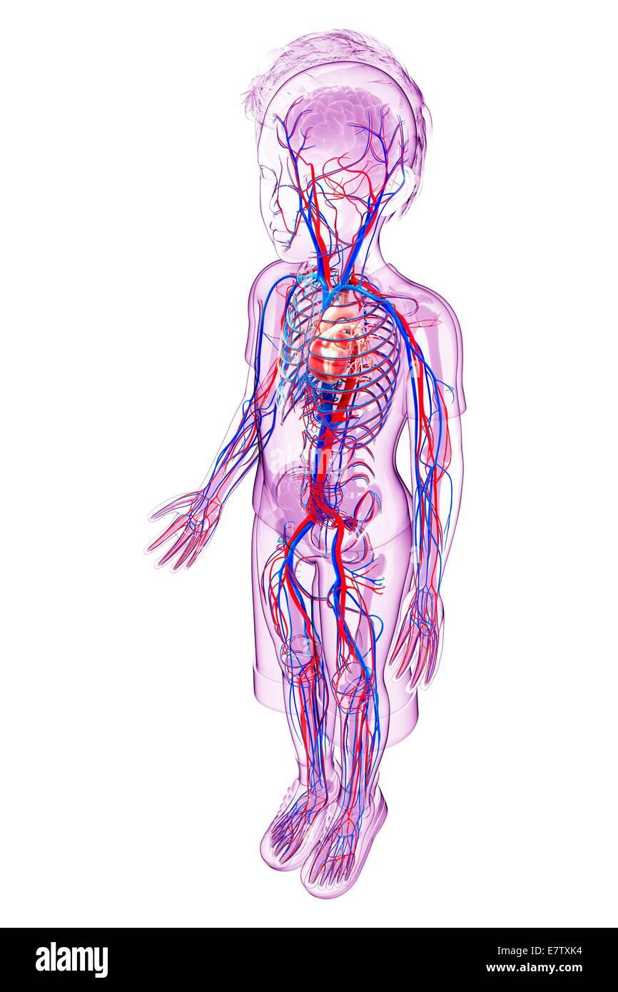 Human Cardiovascular System Computer Artwork Stock Photo 73691832