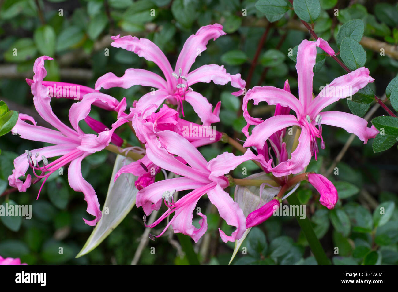 Autumn flowers of the half hardy south african bulb nerine flexuosa autumn flowers of the half hardy south african bulb nerine flexuosa mightylinksfo Gallery