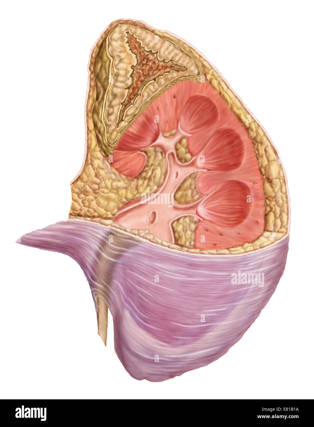 Cutaway View Of The Human Kidney And Adrenal Gland Stock Photo