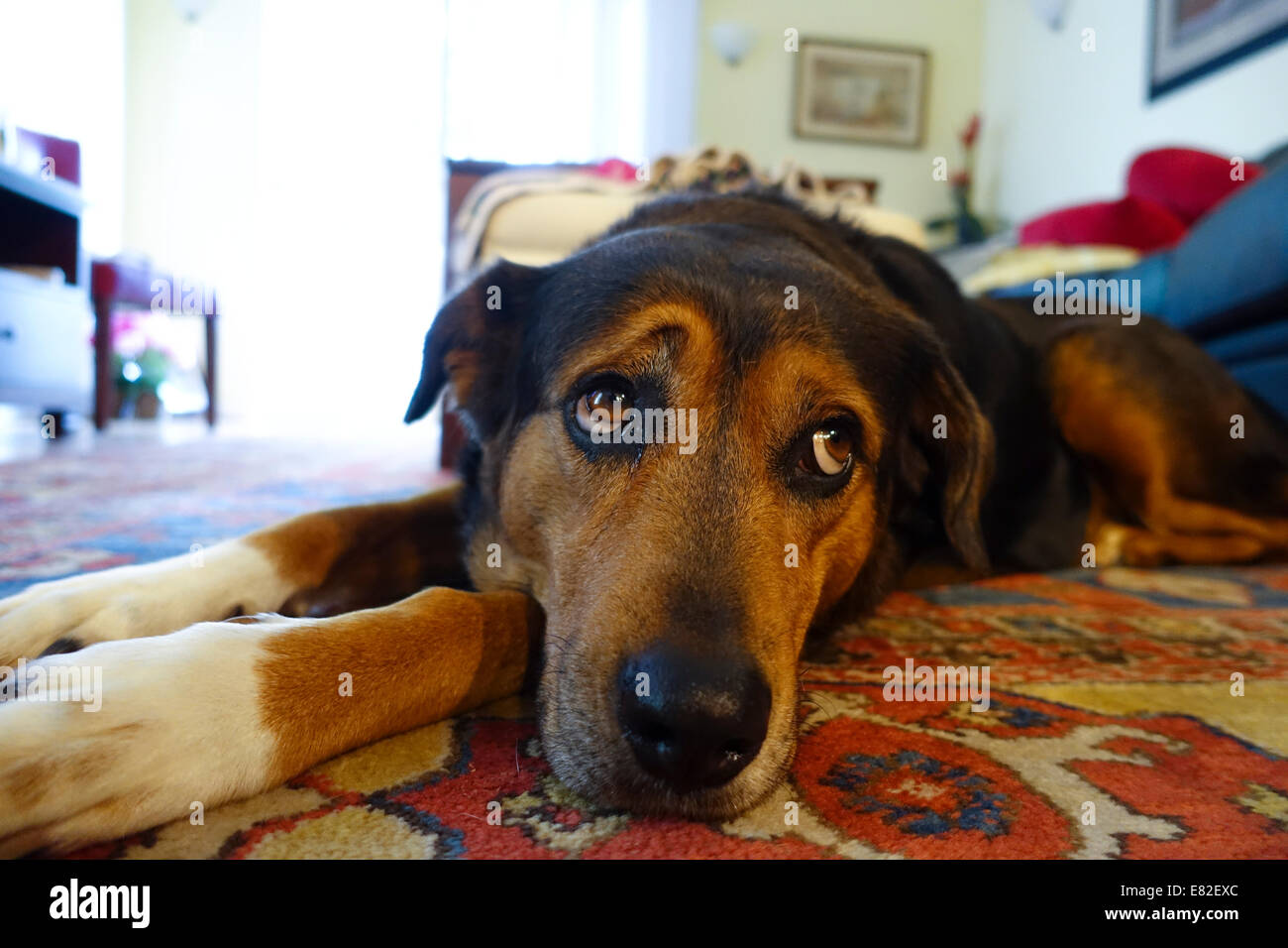 sad-dog-laying-on-the-floor-in-a-home-with-expressive-eyes-E82EXC.jpg