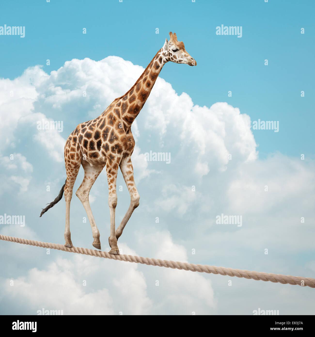 Giraffe balancing on a tightrope - Stock Image