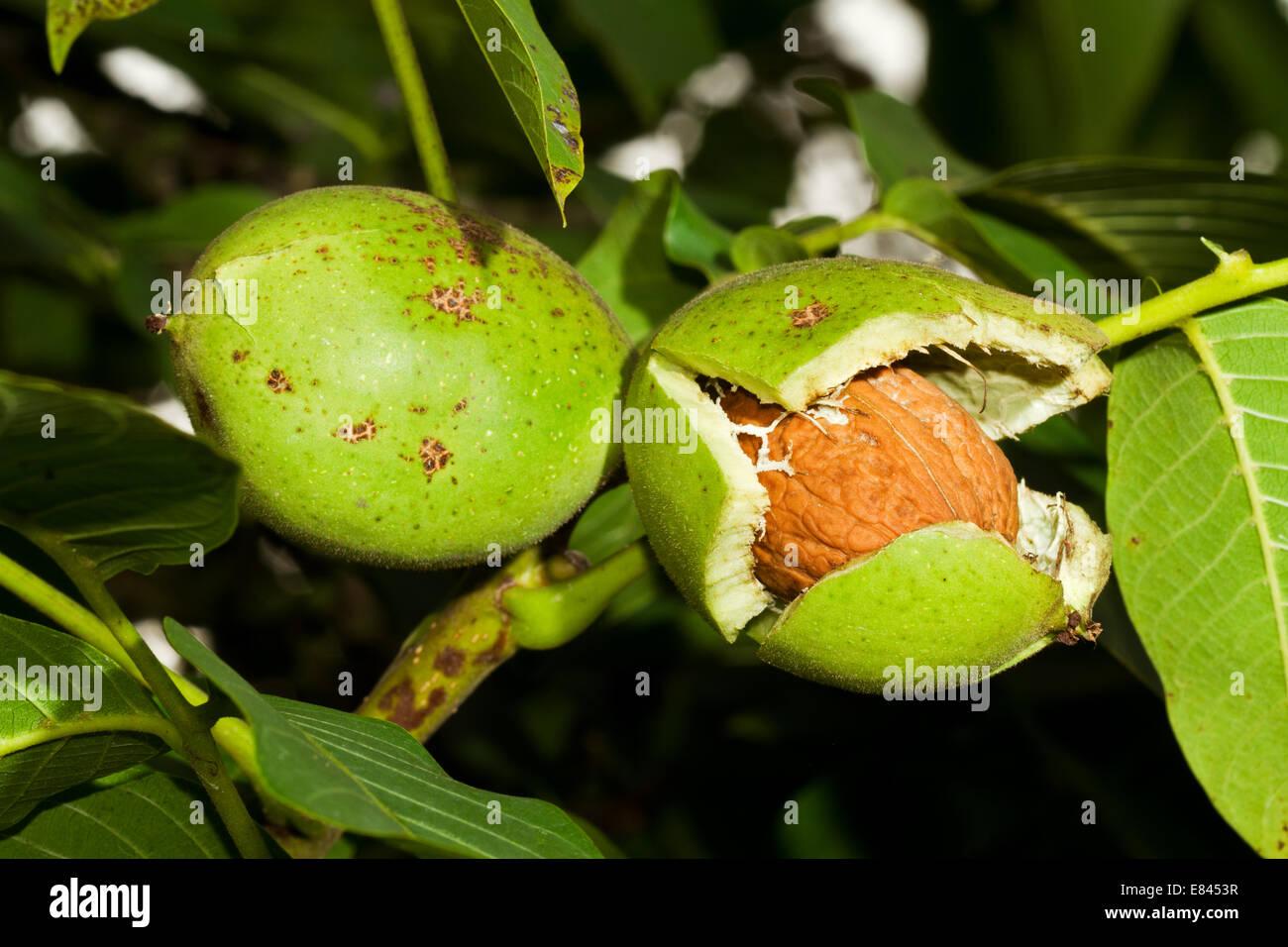 Ripe nuts of a Walnut tree Stock Photo