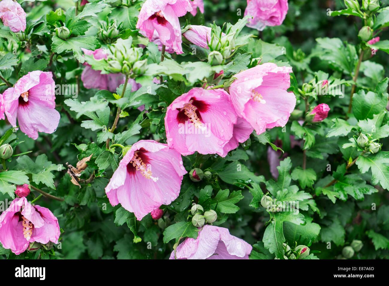 а-крупным планом-розовых-цветов-залитых-с-