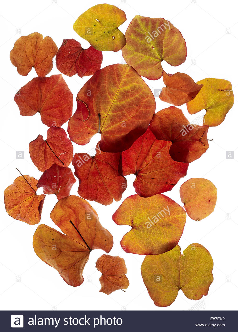 Colorful and bright background made of fallen autumn leaves - Stock Image