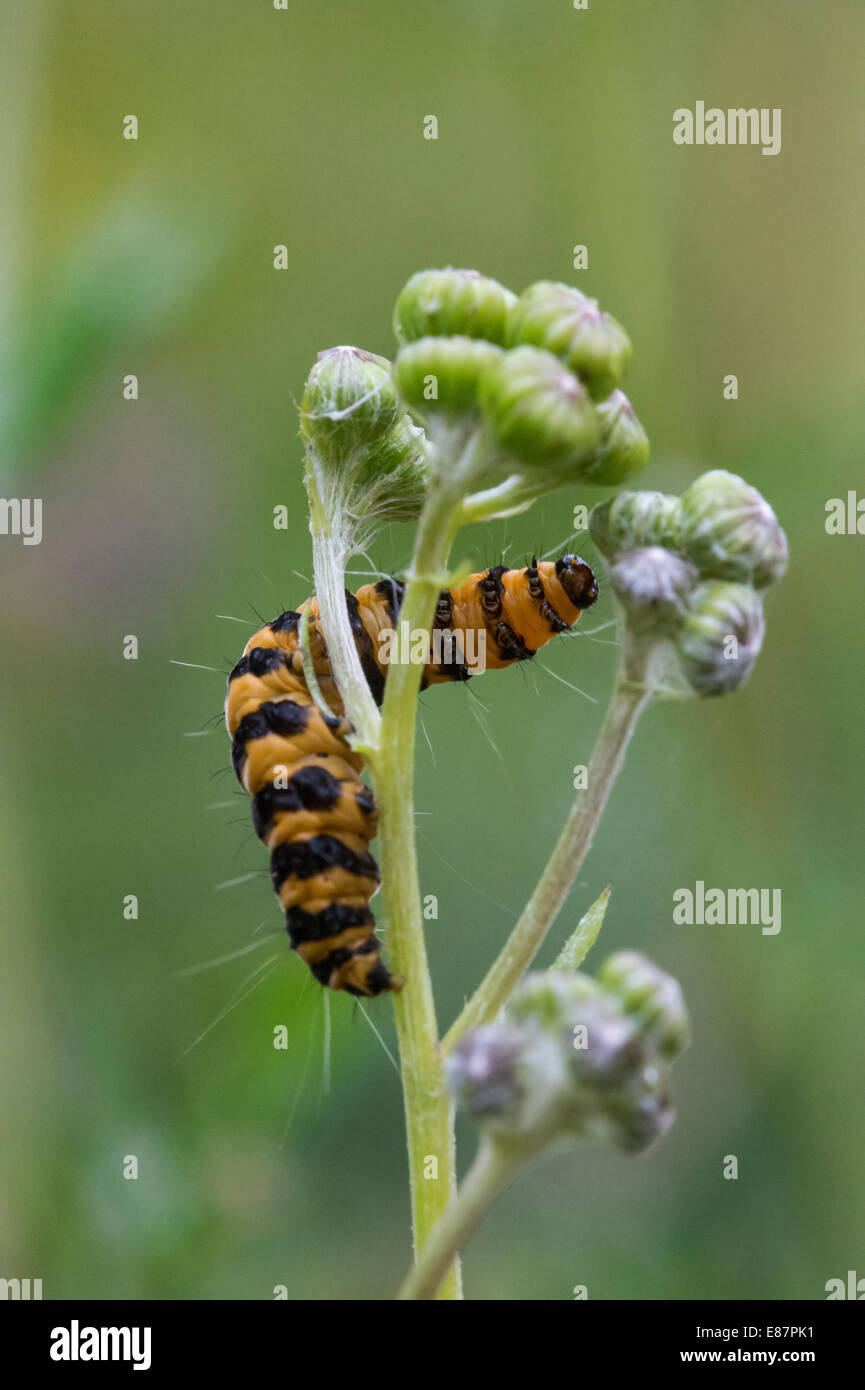 Cinnabar (Tyria jacobaeae) moth larva reaching the flower Llanymynech, Wales, UK, Europe, August - Stock Image