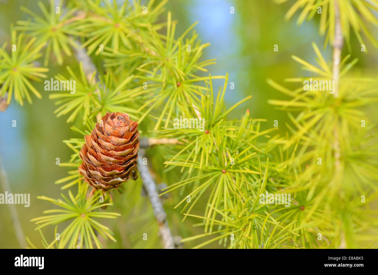 Pine cones on branch, isolate - Stock Image