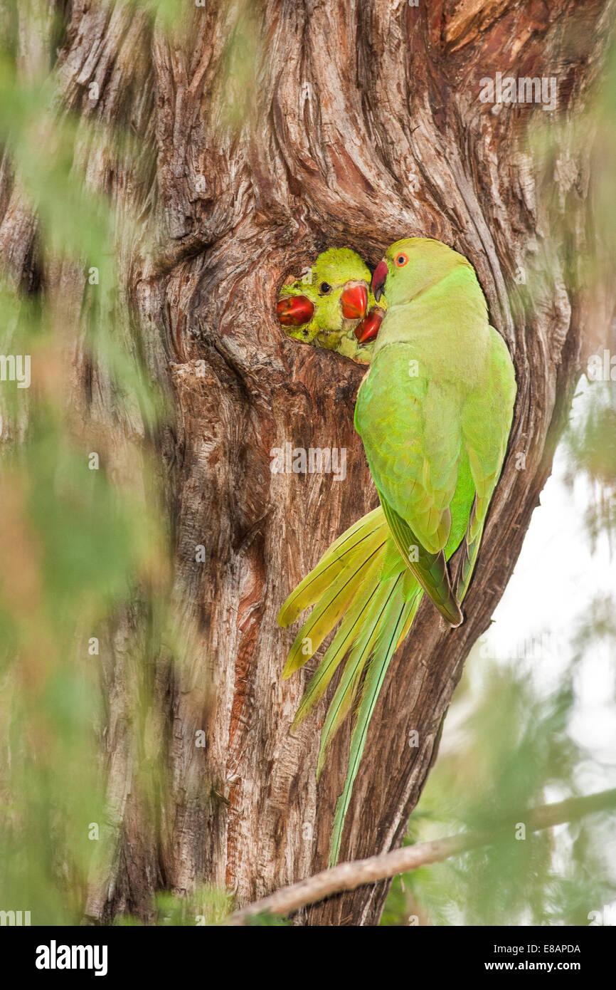 Wild Rose-ringed Parakeet (Psittacula krameri), Israel - Stock Image