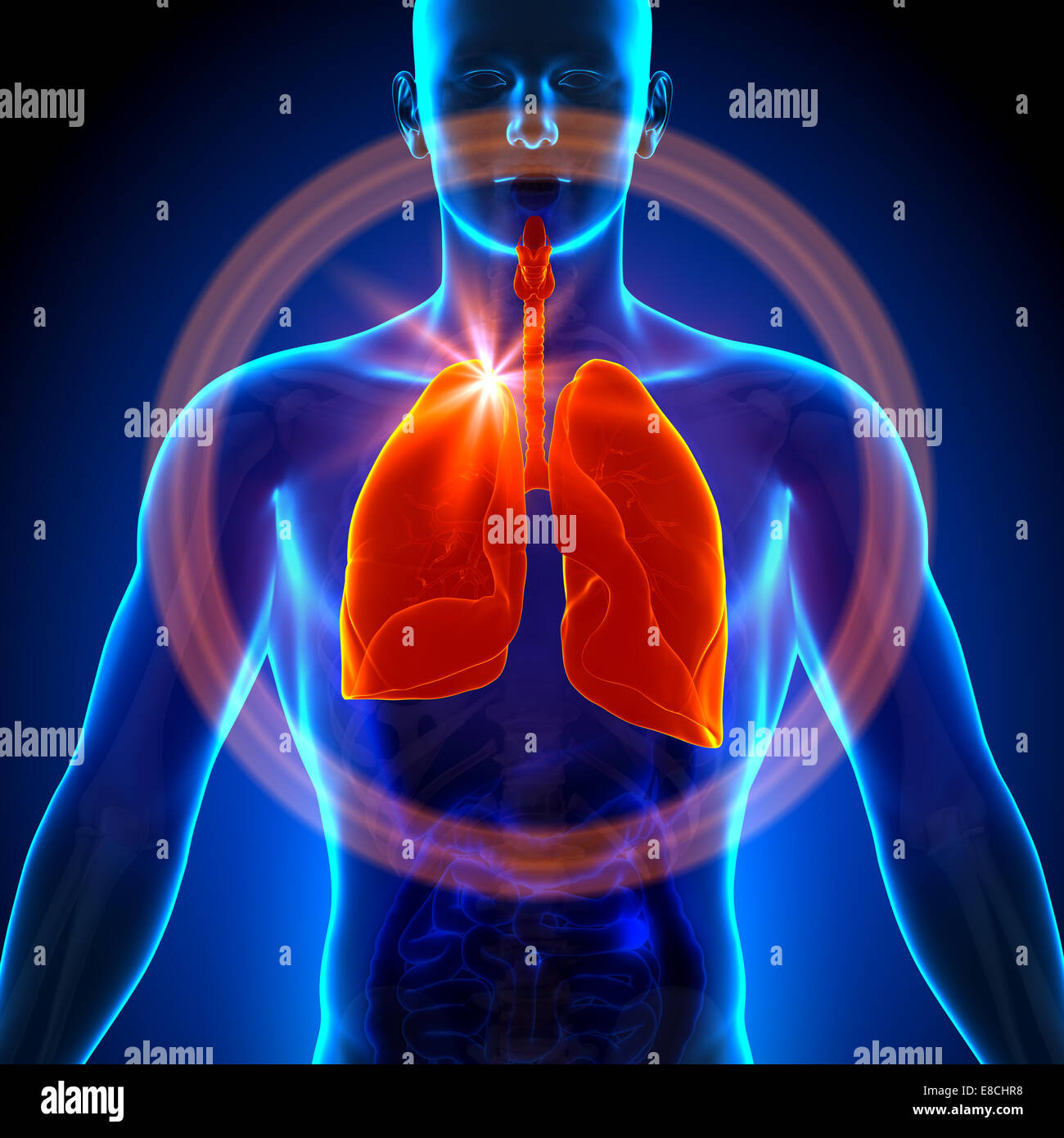 Lungs - Male anatomy of human organs - x-ray view Stock Photo ...
