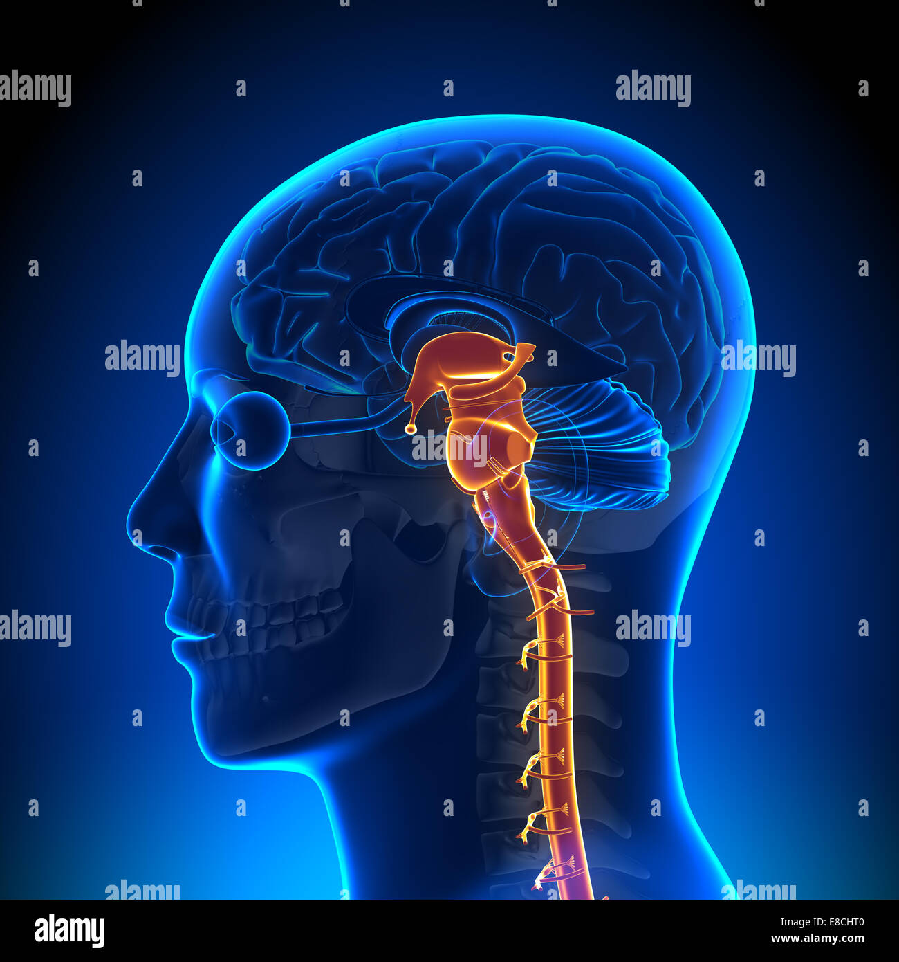 Spinal cord Nerves - Brain Anatomy Stock Photo: 74036144 - Alamy