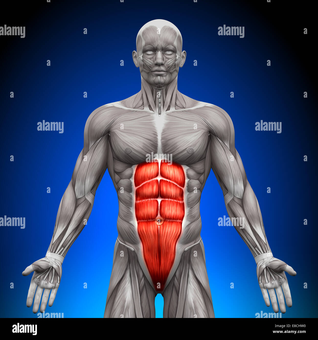 Abs Anatomy Muscles Stock Photo 74036172 Alamy