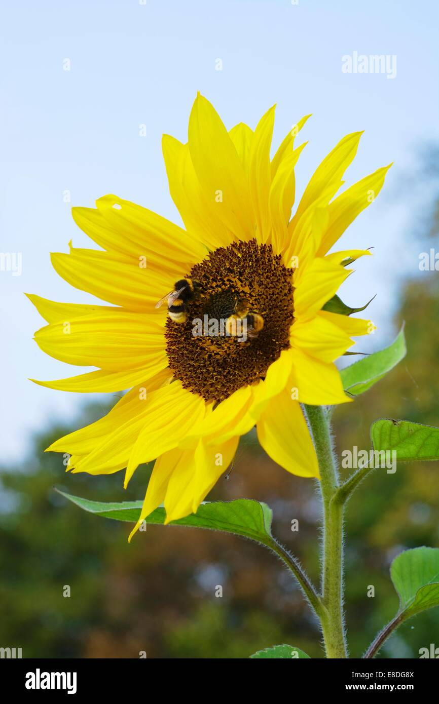 Two humble bees on a sunflower - Stock Image