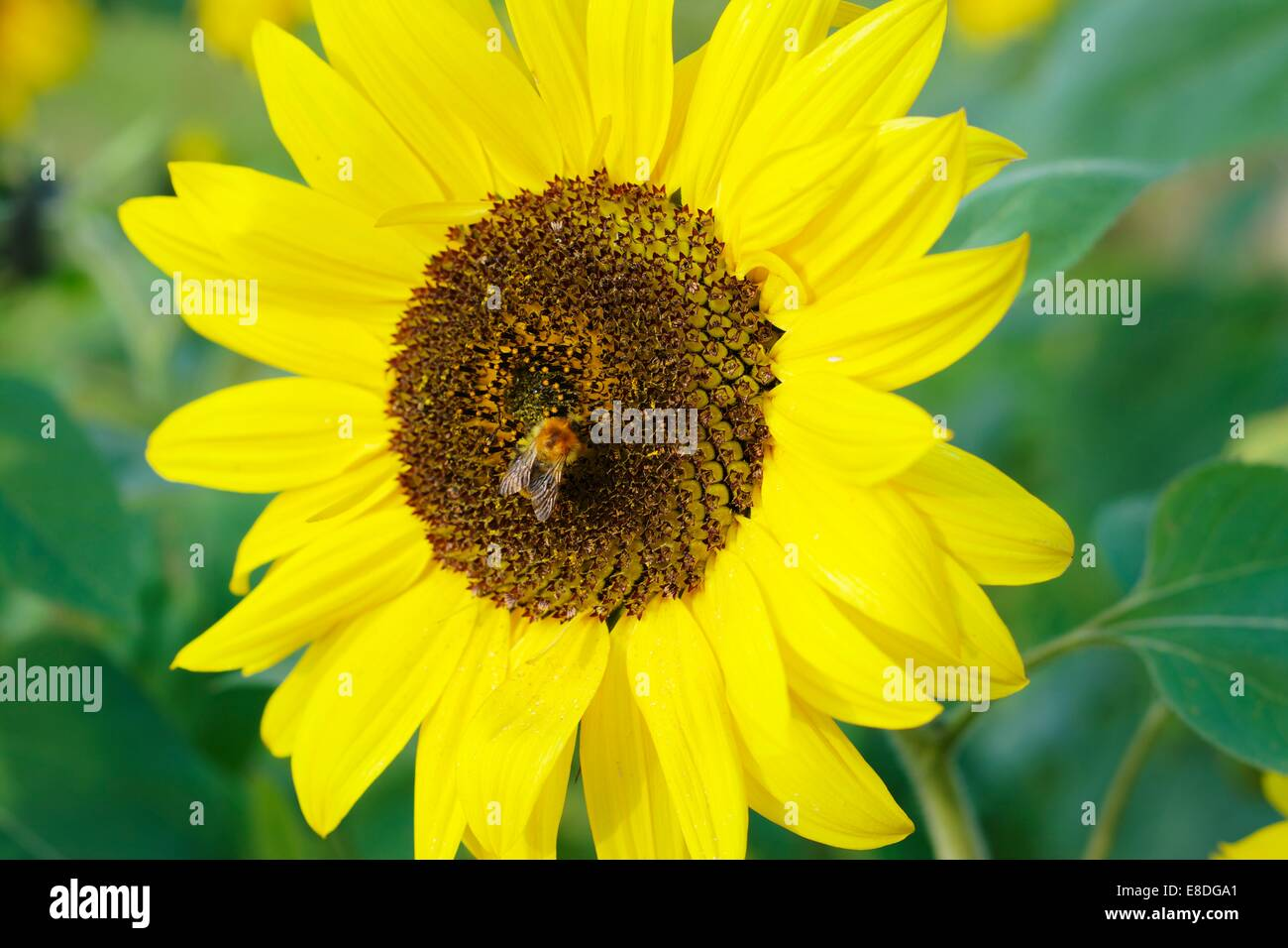 Humble bee on a sunflower - Stock Image