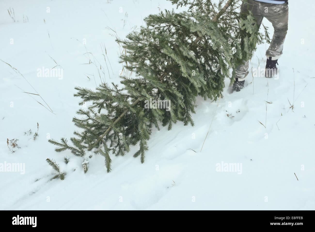 Tree dragged through snow by man - Stock Image
