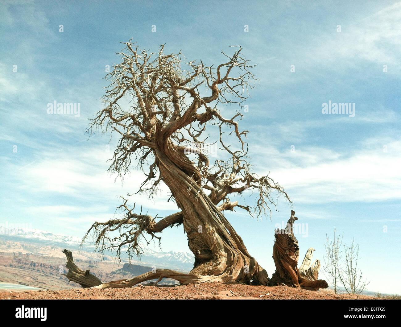 Dead tree, Dead Horse Point State Park, Utah, America, USA - Stock Image