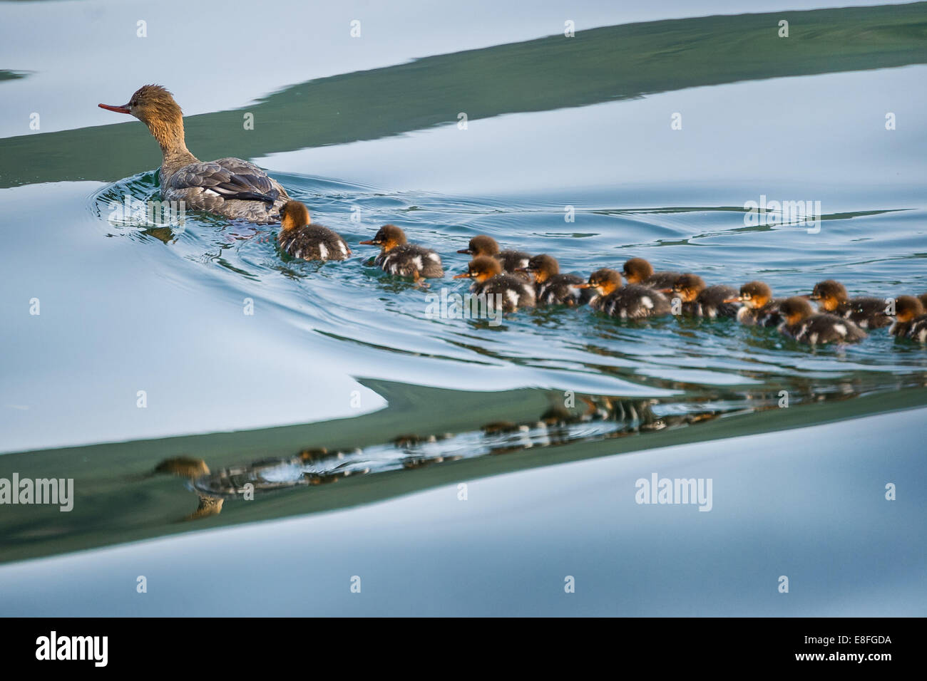Duck with ducklings - Stock Image