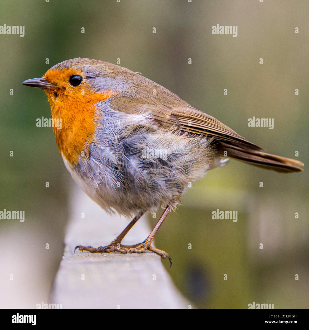 close up of red robin bird sitting on fence stock photo 74100979
