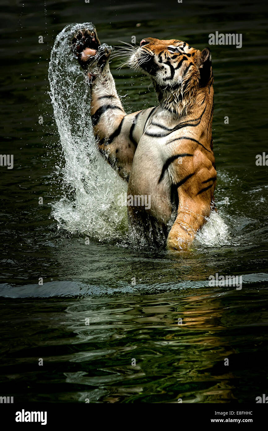 Indonesia, Jakarta Special Capital Region, Ragunan, Tiger jumping from water to catch food - Stock Image
