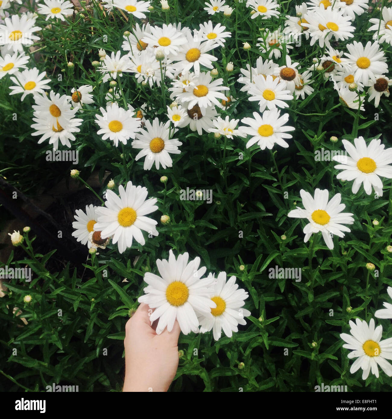 Bunch of daisies with human hand - Stock Image