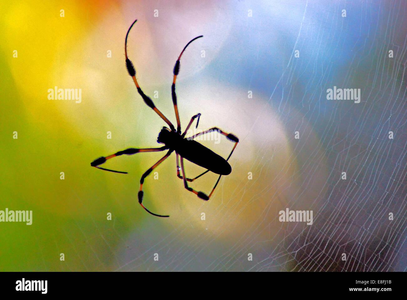 USA, Florida, Orange County, Orlando, Golden Orb Spider - Stock Image