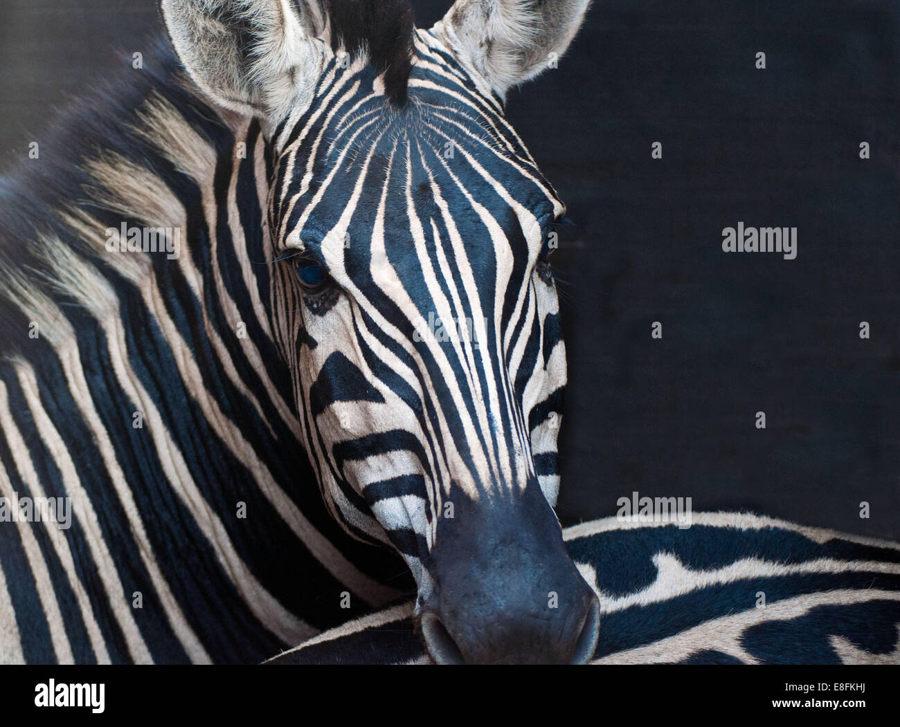 African Zebra, South Africa - Stock Image