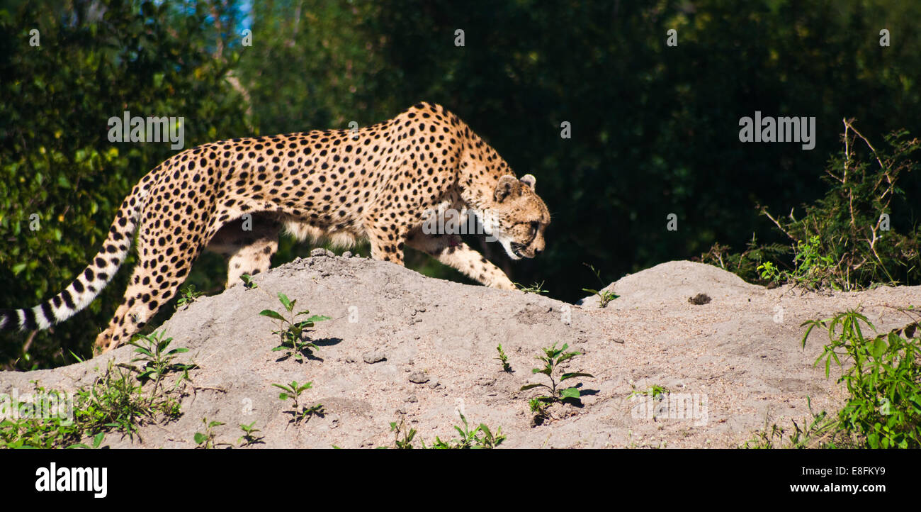 Cheetah prowling, Limpopo, South Africa - Stock Image