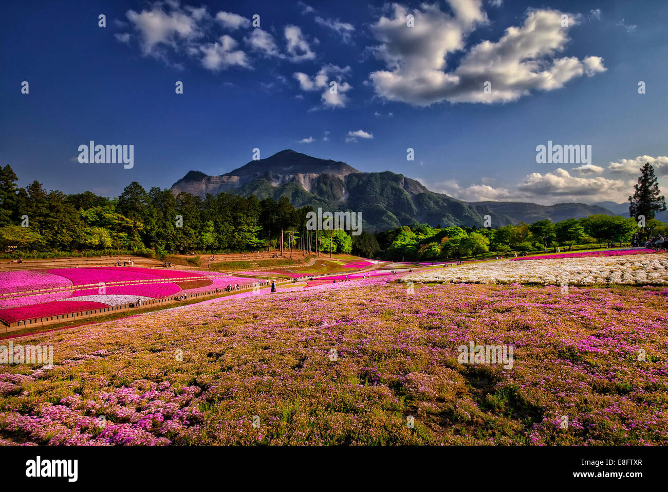 Japan, Saitama prefecture, Chichibu park, View of shibazakura - Stock Image