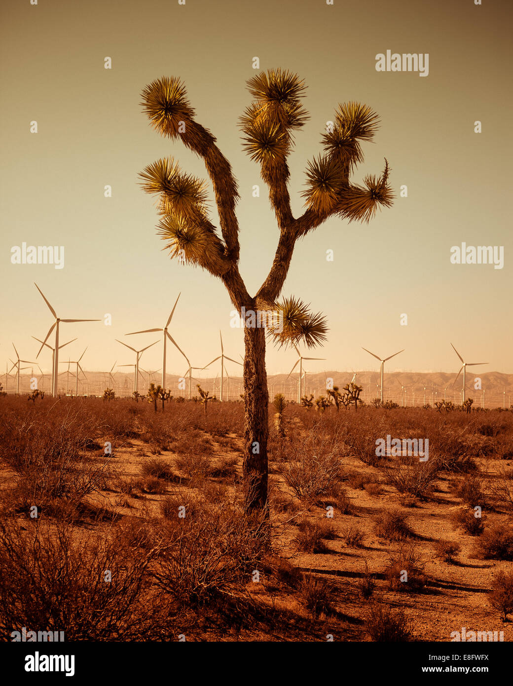 Single tree of desert, wind turbines in background - Stock Image