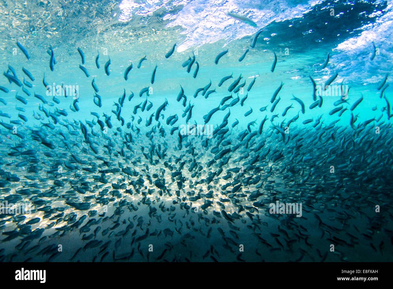 School of fish underwater - Stock Image