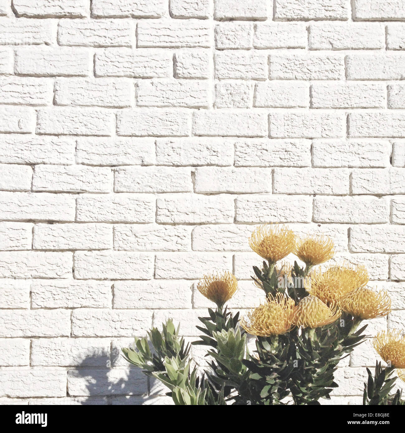 Yellow flowers against white brick wall - Stock Image