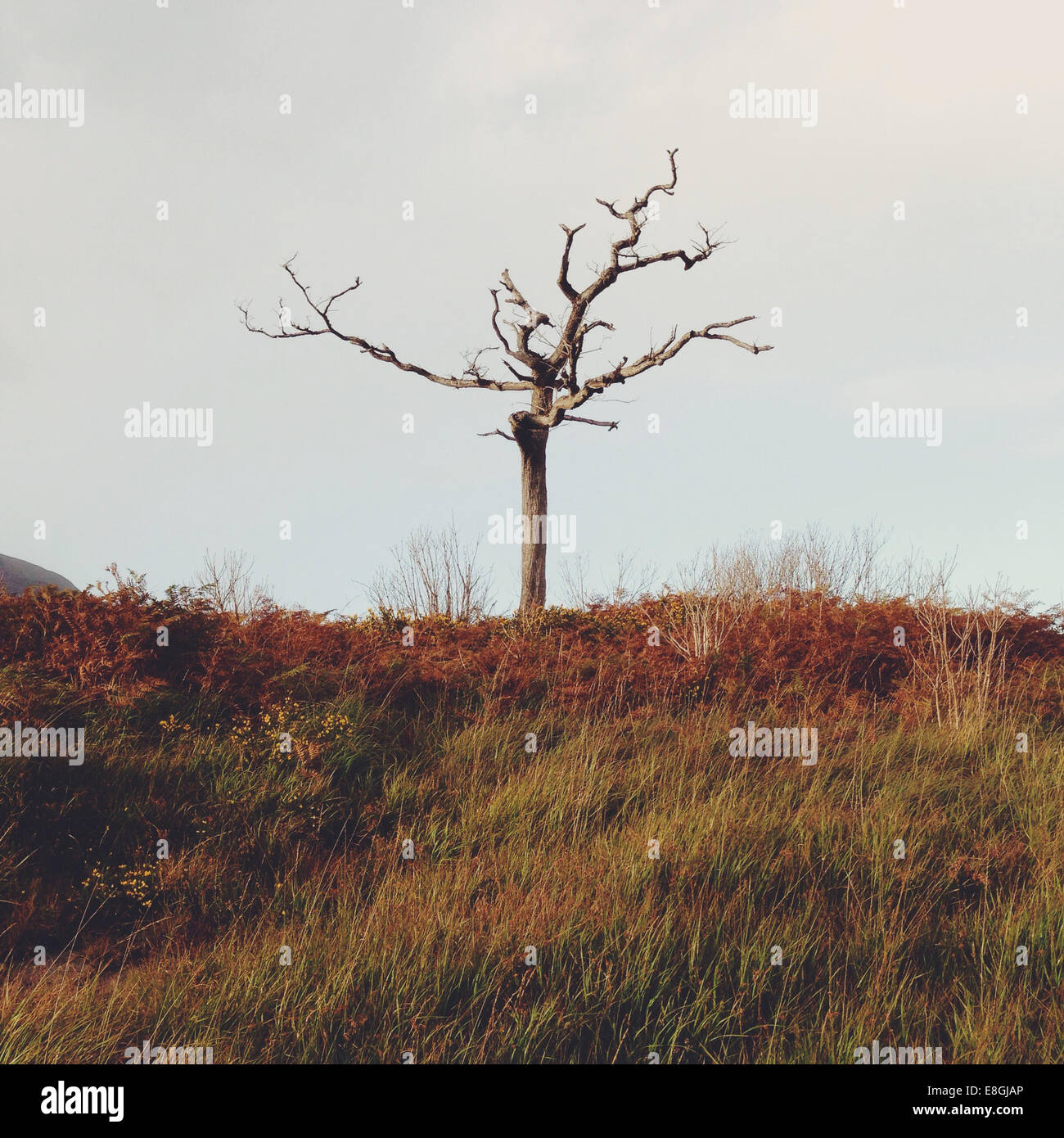Lone tree in Kerry mountains, County Kerry, Ireland - Stock Image