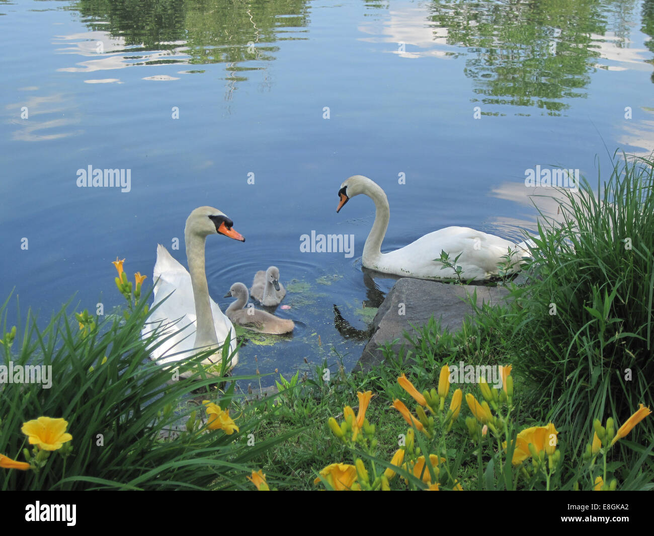 USA, New York State, New York City, Huntington, Adult swans with two cygnets at park - Stock Image