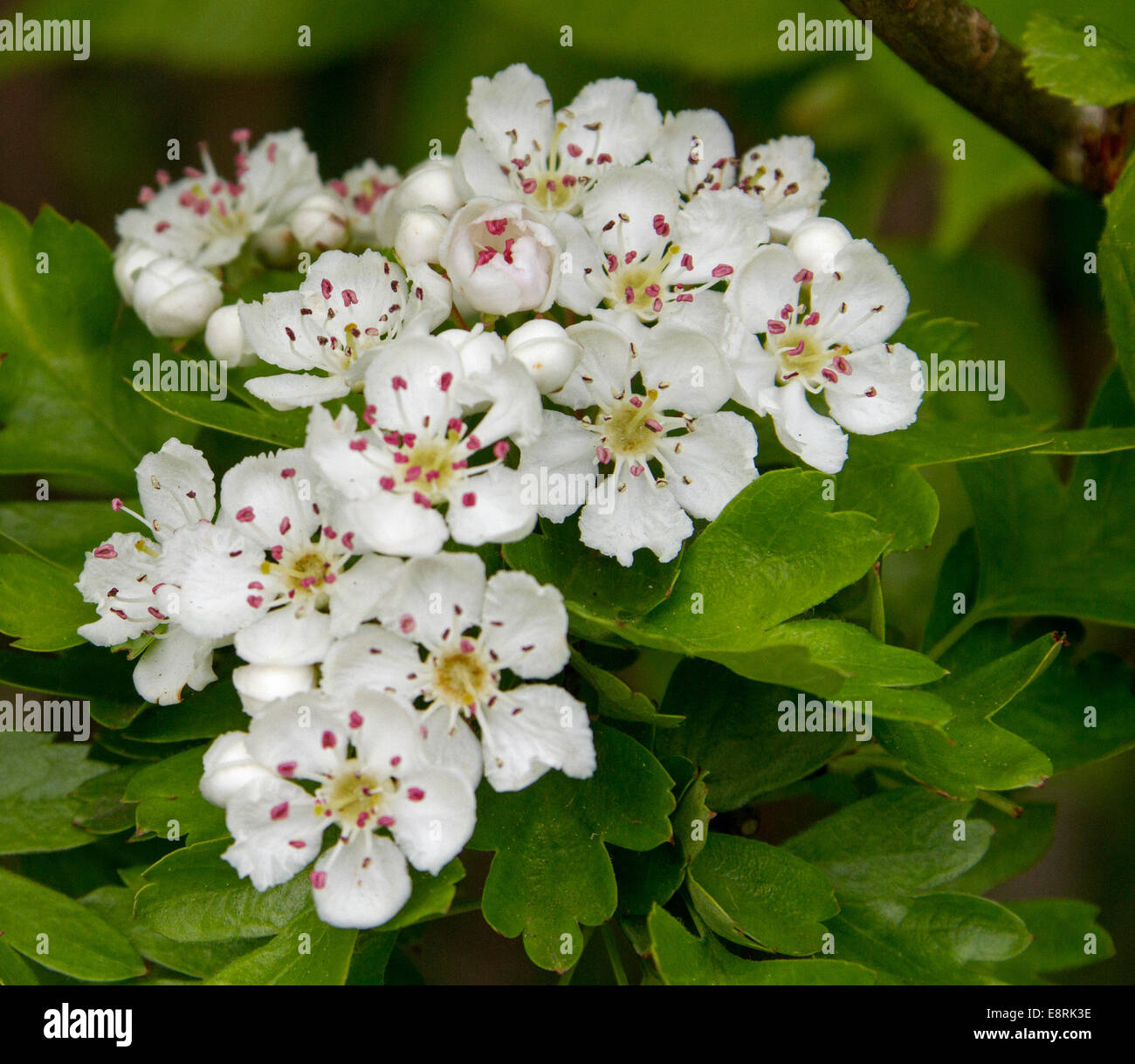 Cluster Of Perfumed White Flowers And Emerald Leaves Of Common Stock