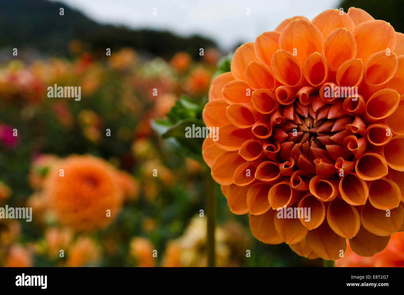 "Closeup of orange round pom pom dahlias in the garden.  ""David Digweed"" variety at Ferncliff Gardens, Mission, BC, Stock Photo"