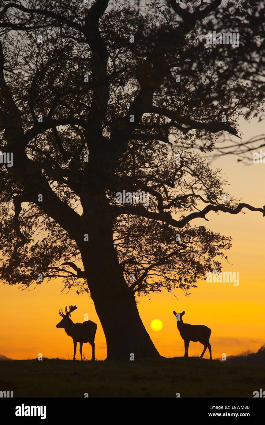 Red Deer - Cervus elaphus - Stock Image