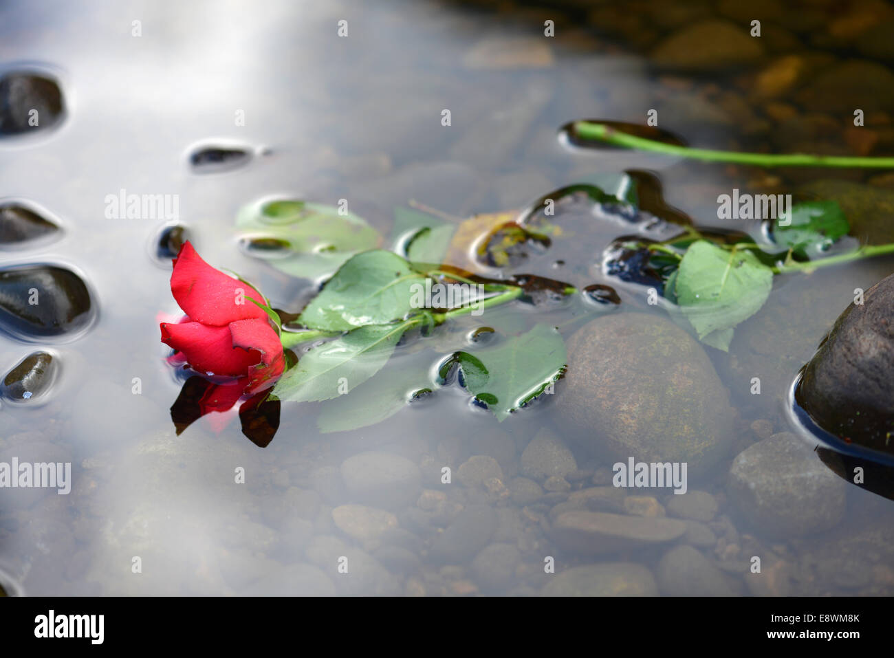 A Rose floating in a river - Stock Image