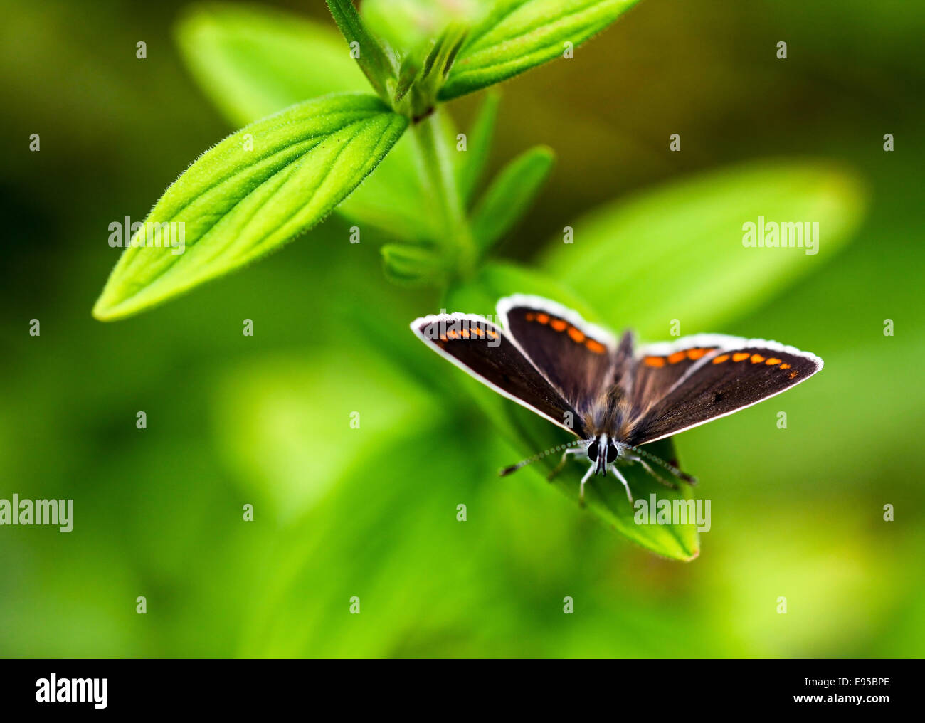 a-brown-argus-aricia-agestis-butterfly-resting-on-a-green-leaf-england-E95BPE.jpg