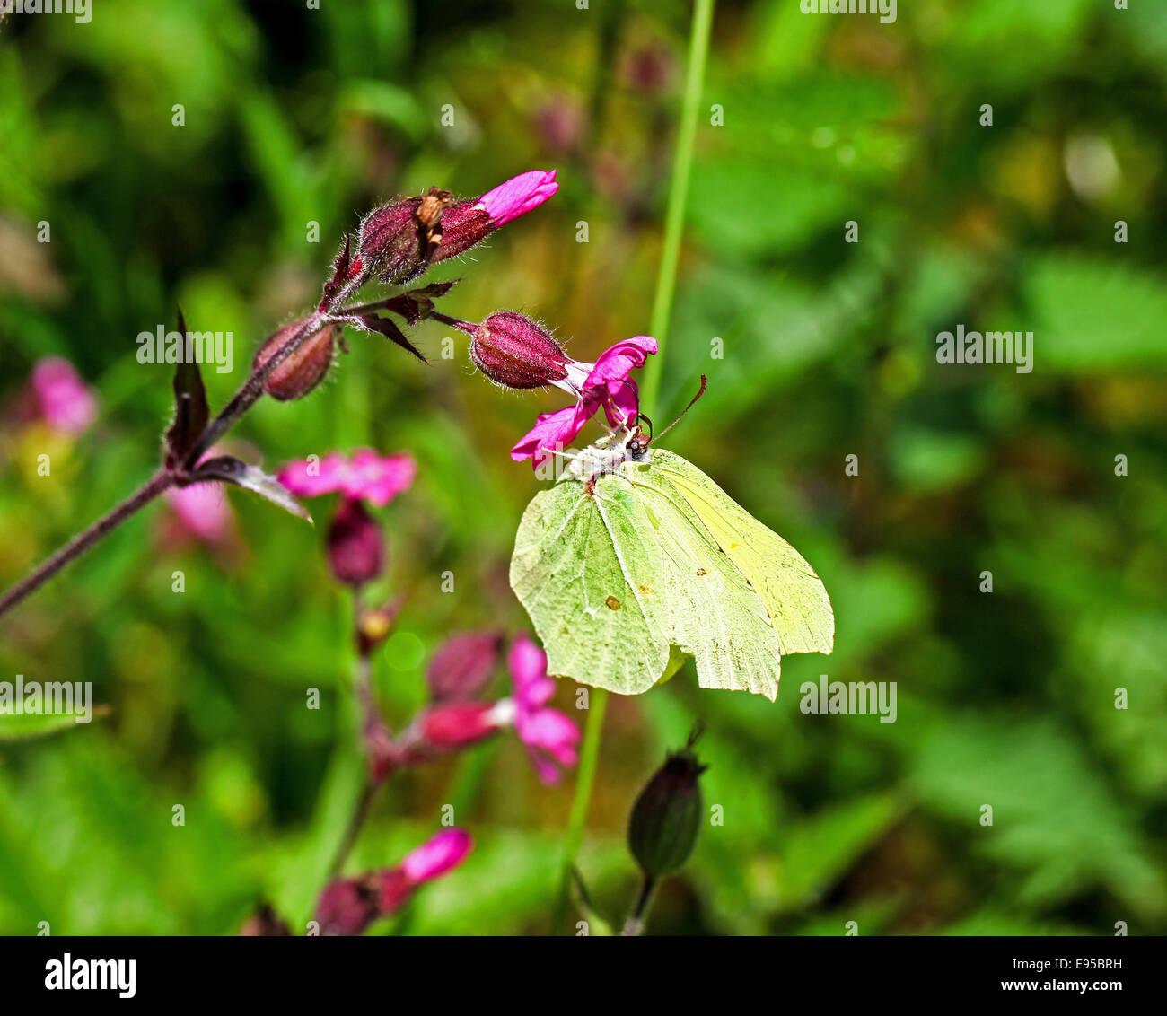 a-common-brimstone-butterfly-gonepteryx-rhamni-england-uk-E95BRH.jpg