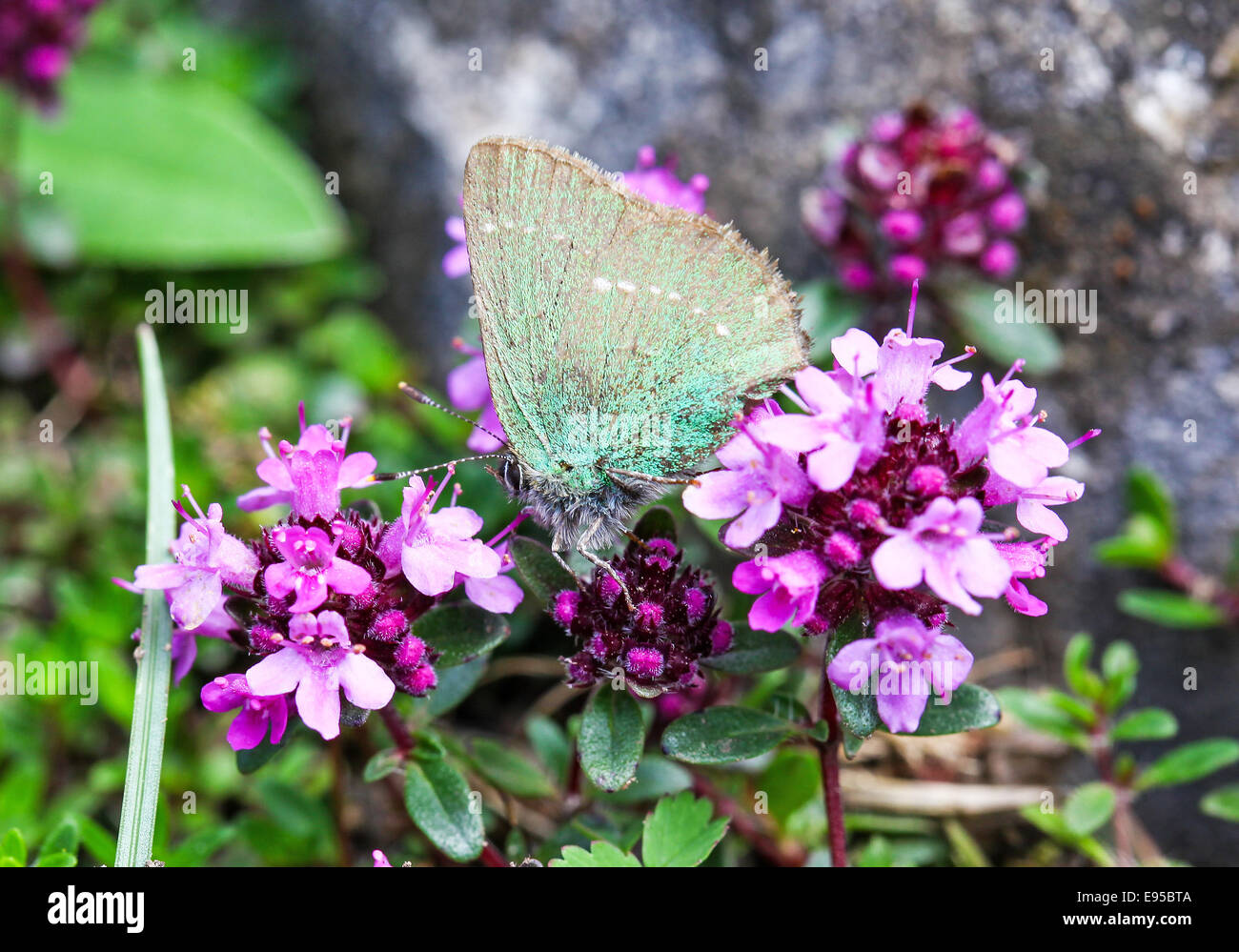 a-green-hairstreak-butterfly-callophrys-rubi-on-pink-flowers-E95BTA.jpg