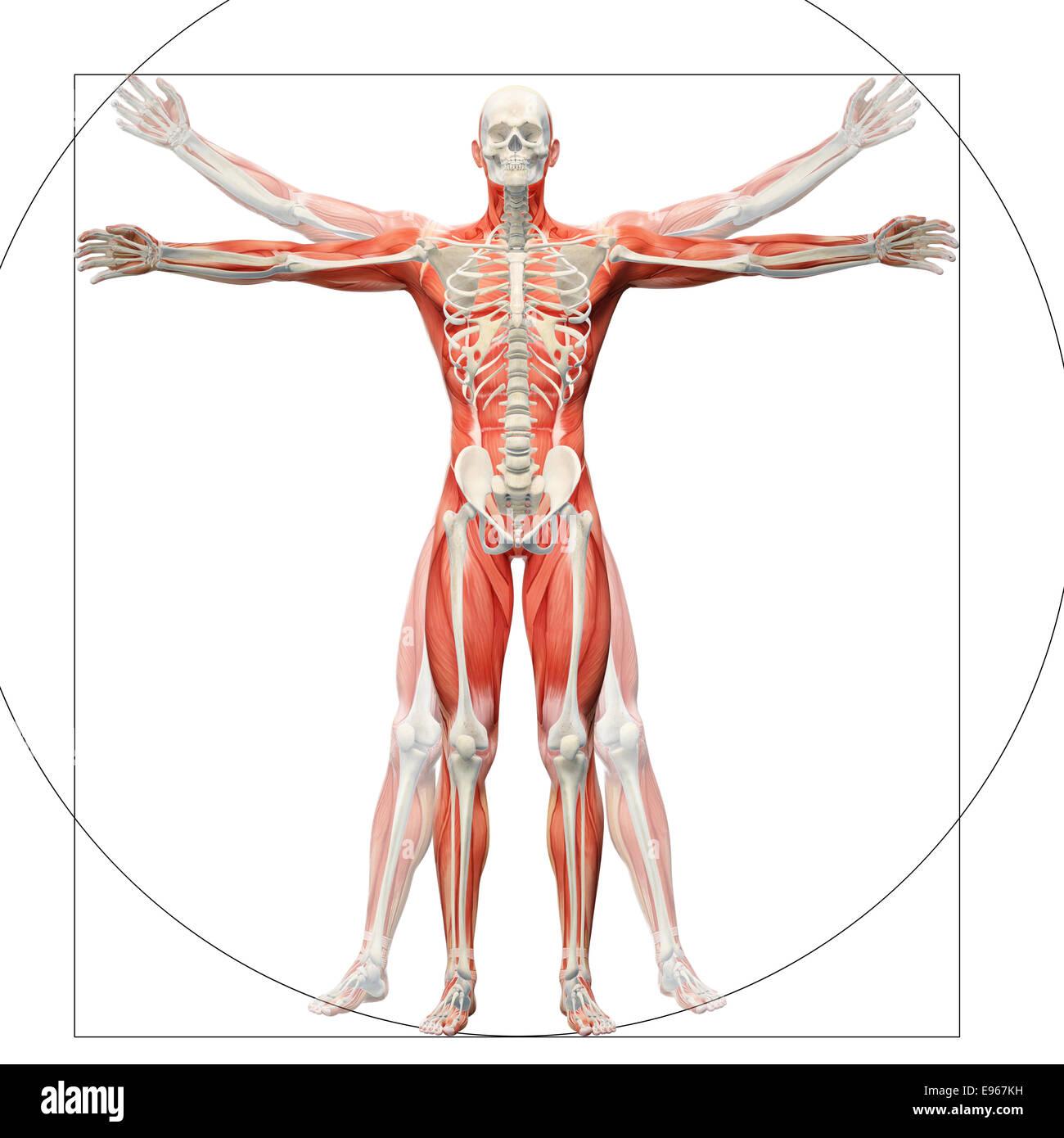 Human anatomy displayed as the vitruvian man by Leonardo da Vinci - Stock Image
