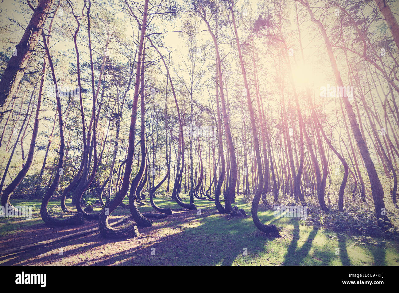 Vintage style picture of Crooked Forest, Gryfino in Poland. - Stock Image