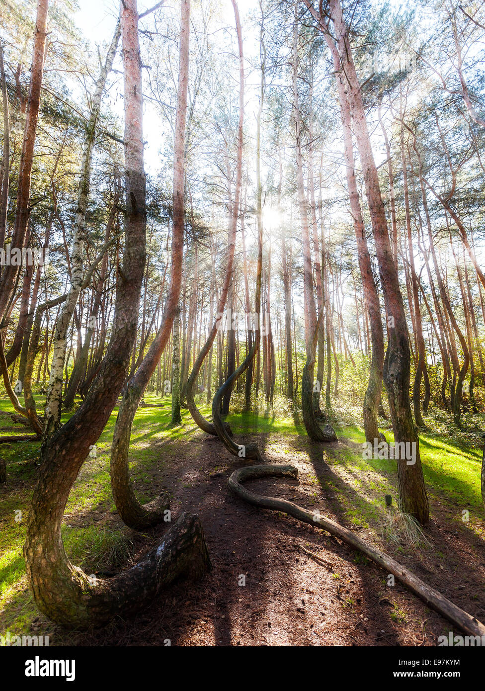 Beautiful morning in the Crooked Forest with sun rays and long shadows. - Stock Image