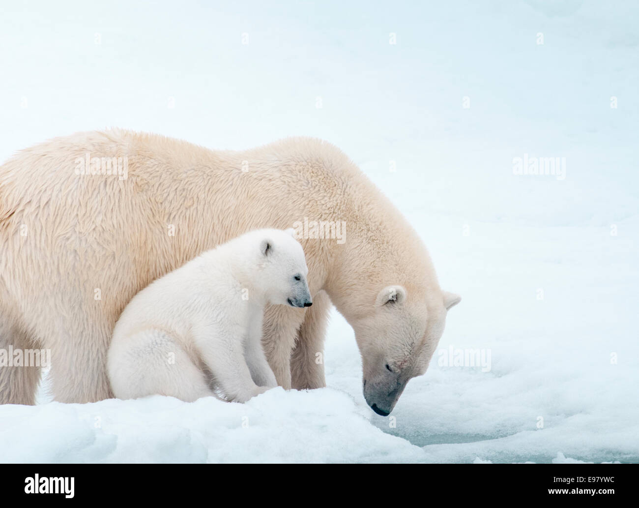 polar-bear-mother-with-cub-close-beside-her-ursus-maritimus-olgastretet-E97YWC.jpg