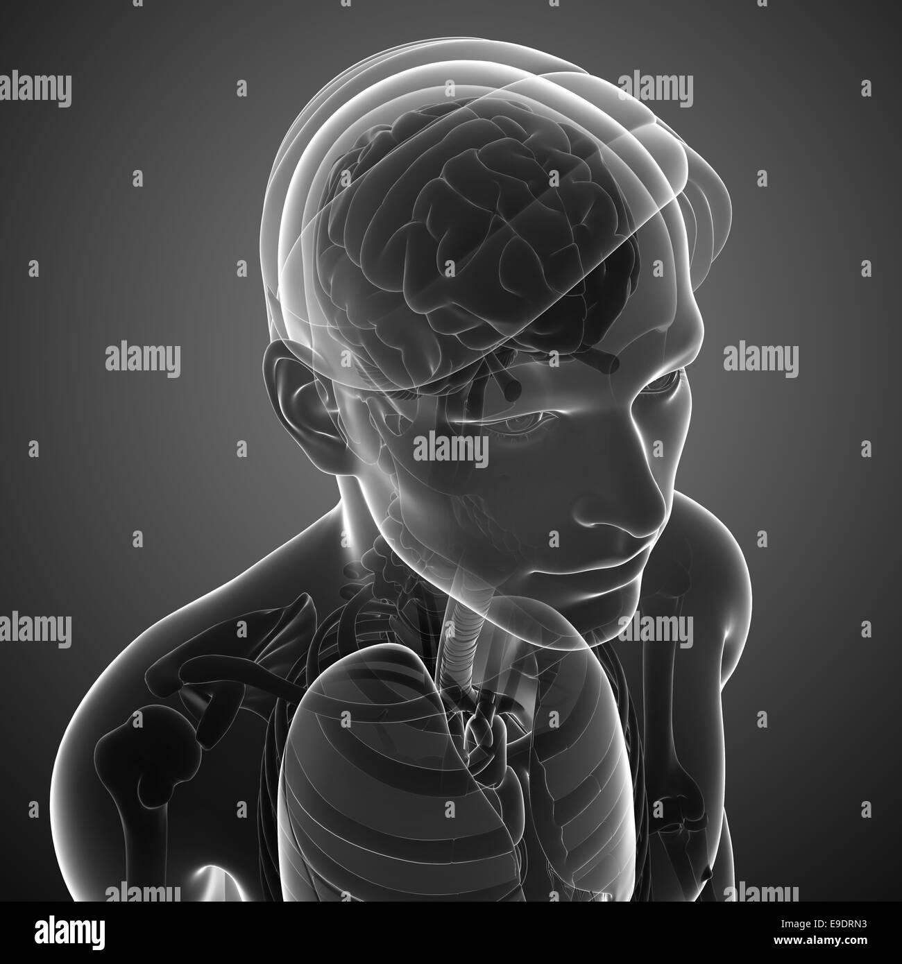 Illustration of male x ray brain anatomy artwork Stock Photo ...
