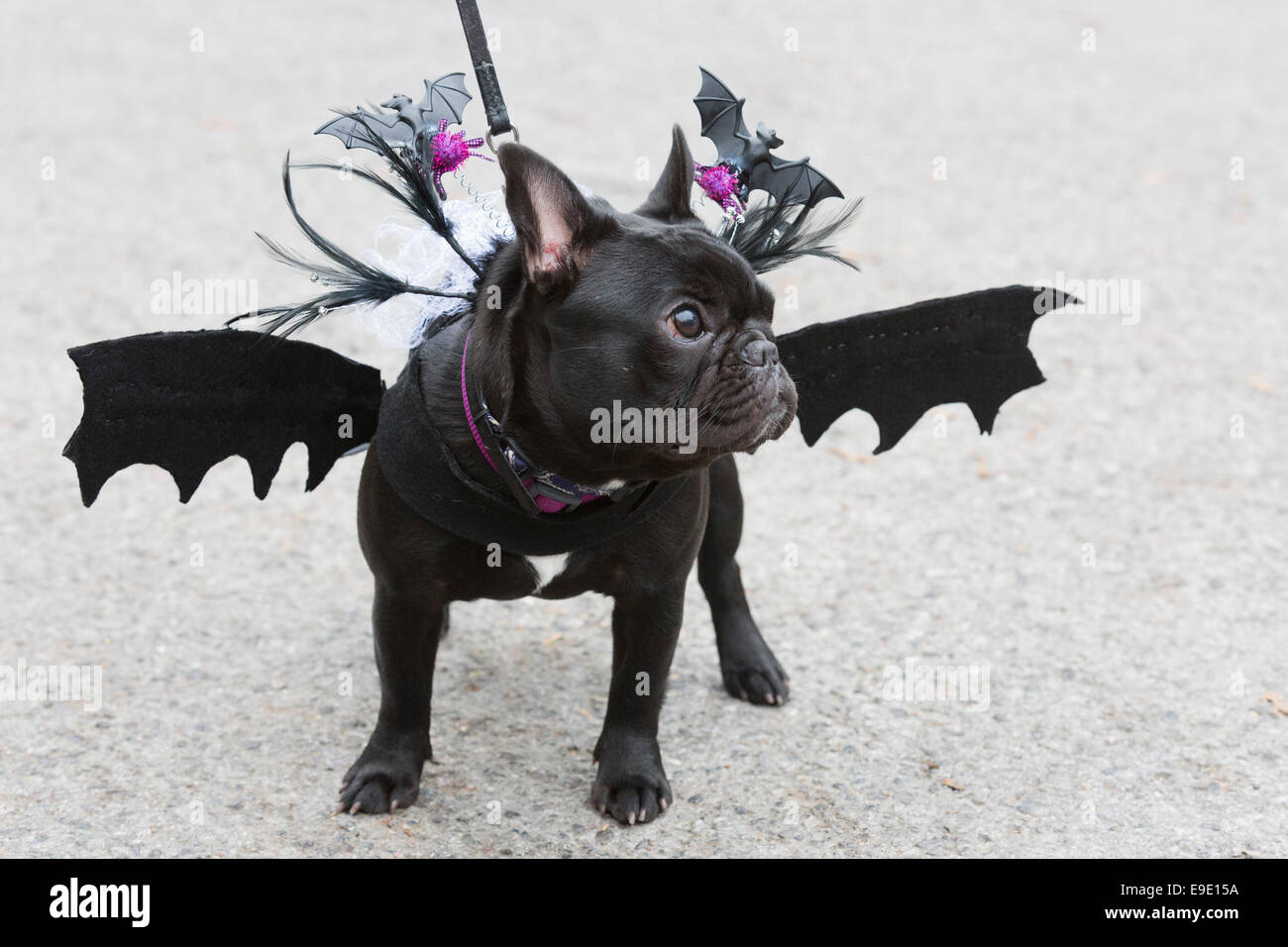 black pug beans 9 months with bat wings dogs dressed in halloween costumes and their owners some also in costume gathered at the spaniards inn pub
