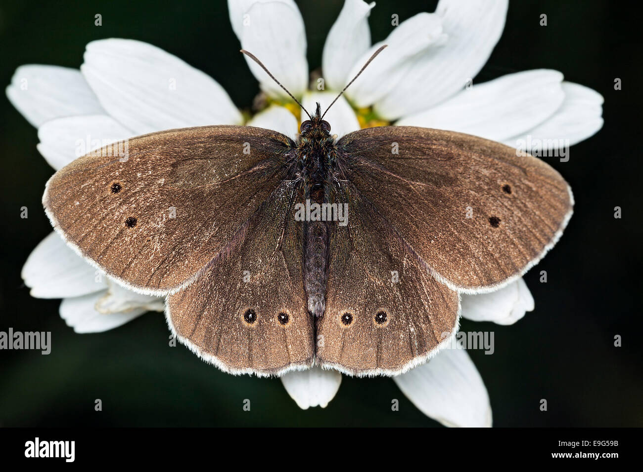 Brown coloured Ringlet (Aphantopus hyperantus) butterfly feeding on nectar of a white Ox-eye daisy flower in an - Stock Image