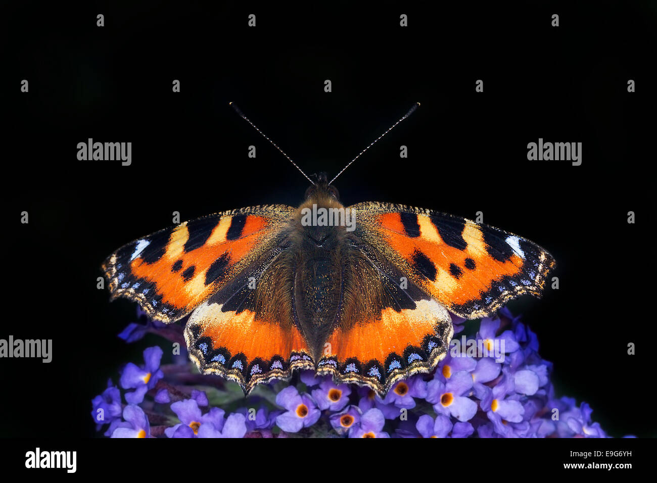 Small Tortoiseshell (Aglais urticae) butterfly feeding on nectar of a buddleia plant in an English country garden - Stock Image