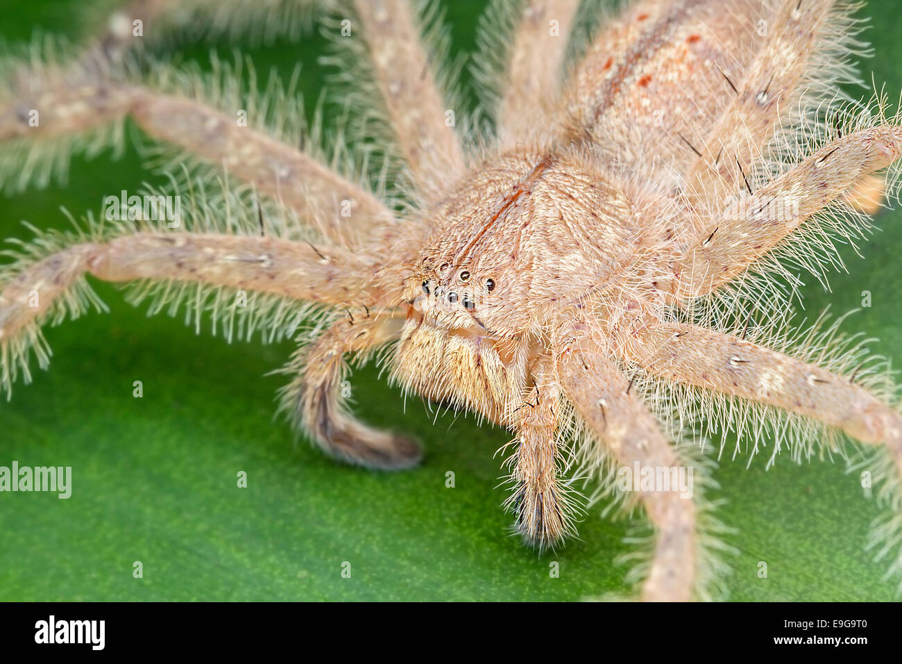 Huntsman spider (Heteropoda davidbowie) on a shrub in tropical rainforest of Singapore - Stock Image