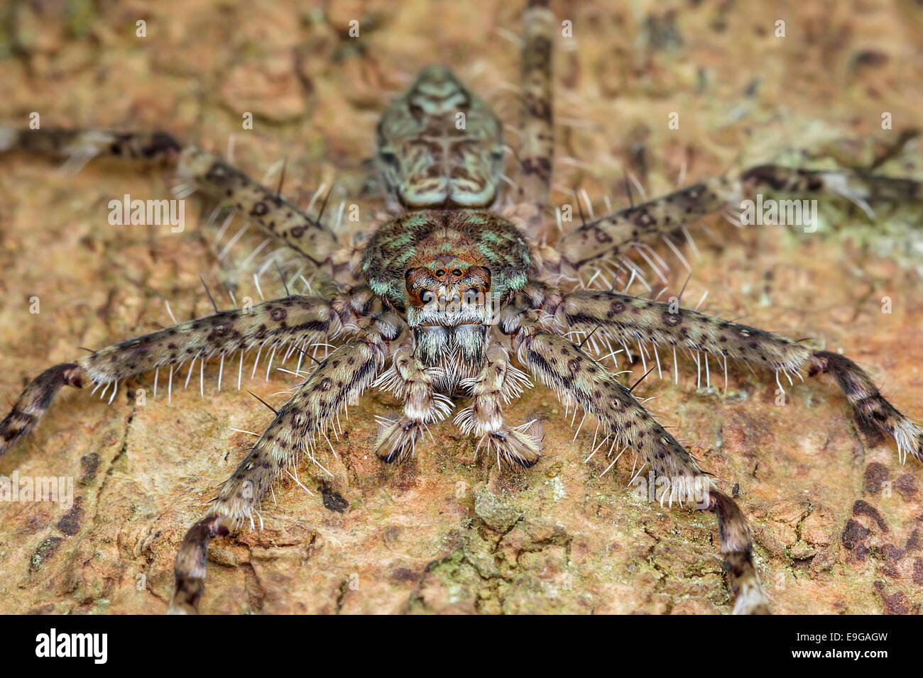 Huntsman spider (Heteropoda sp.) on tree trunk in tropical rainforest of Singapore - Stock Image