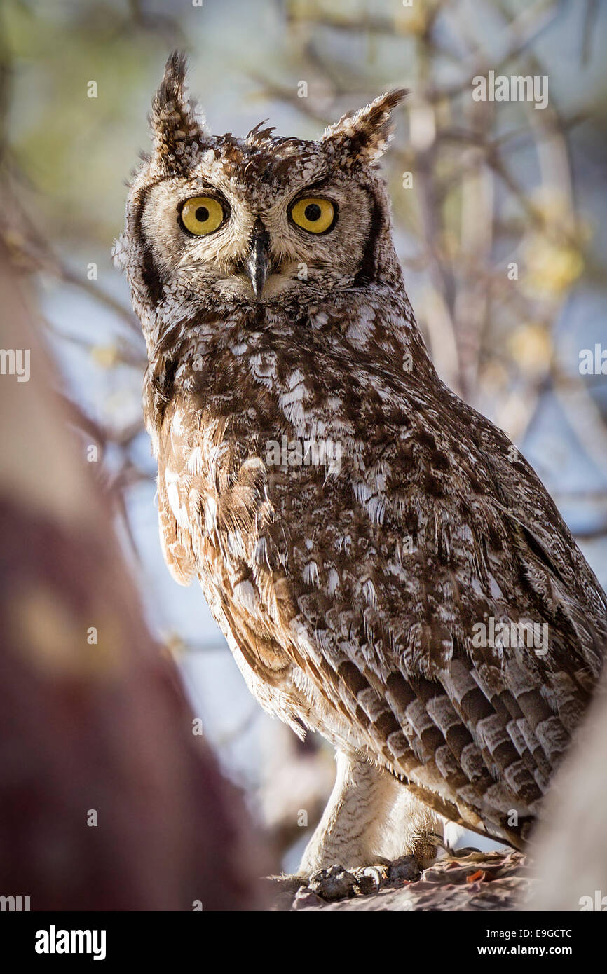 Spotted Eagle-owl (Bubo africanus) perched in the bough of a tree on Kubu Island, Botswana - Stock Image