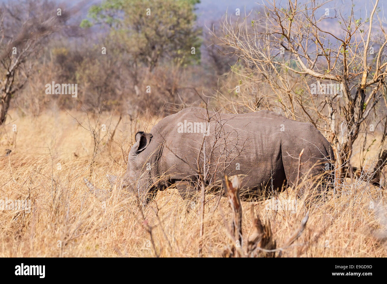 White Rhinoceros (Ceratotherium simum) feeding in shrubland in Mosi-oa-Tunya National Park near Victoria Falls, - Stock Image